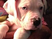 We have seven johnson american bulldog puppies for