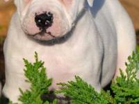 NKC registered puppies, 2 males and 1 females left,