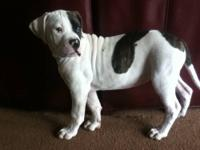 Beautiful 12 week old puppy registered with the
