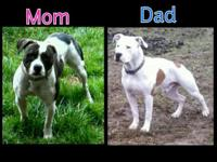 I only have one purebred male American Bulldog puppy