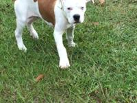 I have 1 male full blooded American bulldog pup left