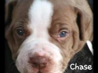 I have one male American Bulldog puppy available out of