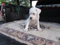 Beautiful American Bulldog puppy,CKC, female, all shots