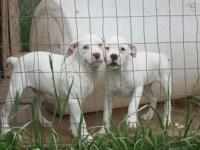 2 females, 1 male available. Farm/utility type dogs.
