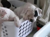 I have 2 American Bulldog pups available. They come