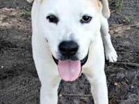 American Bulldog - Rex - Medium - Young - Male - Dog
