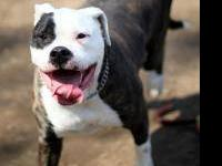 American Bulldog - Roxy - Large - Adult - Female - Dog