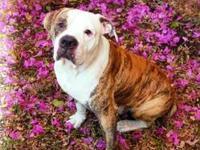 American Bulldog - Sam / Miami, Fl - Large - Adult -