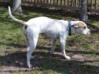 American Bulldog - Savannah - Medium - Adult - Female -