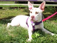 American Bulldog - Shera - Medium - Adult - Female -