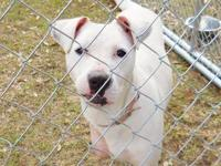 American Bulldog - Shug - Large - Adult - Female - Dog