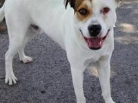 American Bulldog - Sneaky P - Large - Young - Male -