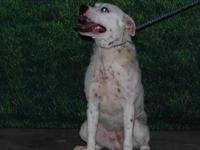 American Bulldog - Solie - Medium - Young - Female -