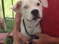 American Bulldog - Sophia - Medium - Young - Female -
