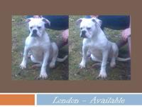 American Bulldog - Speckled Diamond - Medium - Young -