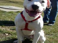American Bulldog - Super Sunny - Large - Adult - Male -