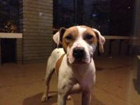 American Bulldog - Suzie - Medium - Young - Female -