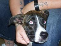 American Bulldog - Tambrey - Large - Young - Female -