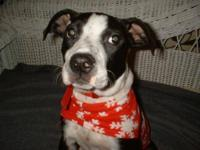 American Bulldog - Touche - Medium - Adult - Female -