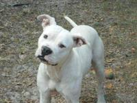 American Bulldog - Tyson - Large - Young - Male - Dog