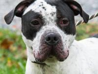 American Bulldog - Valerie - Large - Adult - Female -
