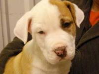American Bulldog - Waluigi - Large - Baby - Male - Dog