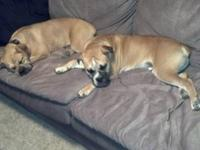 Two male American Bulldogs needing a forever home.