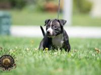 4x rip champ Dax 2 females and 1 male available... For