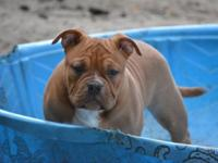 4.5 Months Old Male American Bully Puppy This ad was