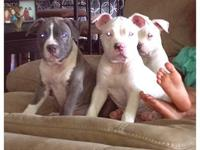 Louie is a female american bully that is 75% razor edge