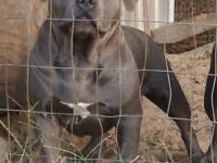 I have a man stud available for sale! Blue & & white