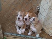 2 Males Available Born Jan 18,2015 Shots and De wormed