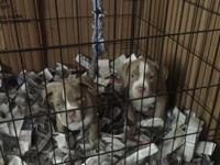 I have 3 male Pocket bully pups. All head and none as