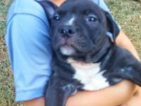 We have two beautiful female American Bully Puppies