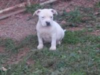 I have 3 males American bully puppies they are 7 weeks