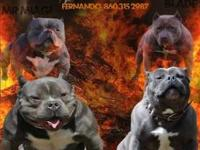 American bully pitbulls to be available soon. I have