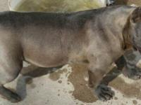 American bully female/ ukc registered/ well bred,