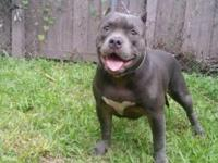 7 month old American bully female. She is out of Primo