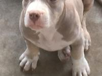 Pocket AMERICAN bully Pups purple tri double registered