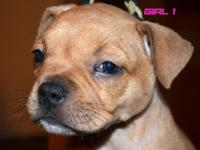 American Bully Best deal in town for Miagi blood!!!  or