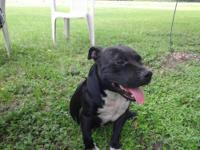 I am selling my male american bully pit bull he is good