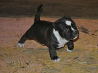 ABKC Grch K.O. Da BEAST SONS. at 4 weeks old. when