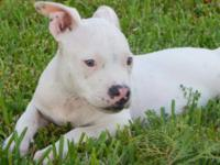 Lil whitey is a classic style American bully puppy that