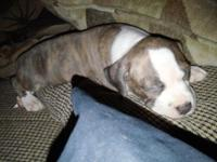 Bully Pit Bull female dog for sale $1,000. 7 weeks old.