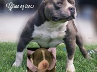 Choose Girl UKC Purple Bow Paper Job Pitbull American