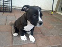 I have two stunning american bully male pitbull young