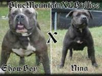 We have 9 American bully pocket pups that were born on
