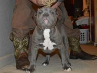 Rambo and bliss male dog for sale. Kid is a beast at 13