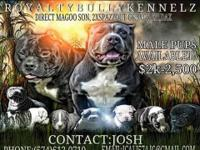 Male American Bully Puppies for sale off of Blaze