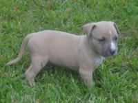 We have 9 American Bully puppies! 5 females and 4